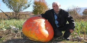 96 kilogramlık kabak görenleri şaşırtıyor